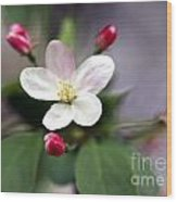 Where Apple Blossoms Blow Wood Print