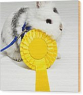 White And Black Rabbit On Blue Leash With Yellow Rosette Wood Print by Michael Blann