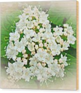 White And Cream Hydrangea Blossoms Wood Print