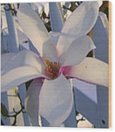 White And Pink Magnolia Wood Print