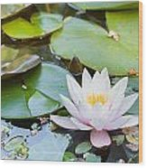 White And Pink Water Lily Wood Print