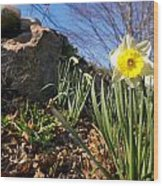 White And Yellow Daffodil Flower Wood Print