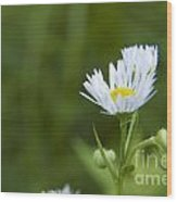 White Aster Wildflower Wood Print