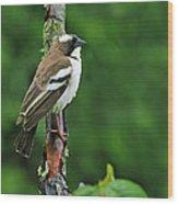 White-browed Sparrow-weaver Wood Print