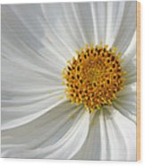 White Cosmos Wood Print