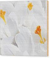 White Crocus Blossoms Wood Print by Elena Elisseeva