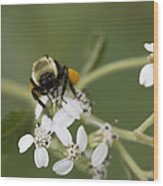 White Crownbeard Wildflowers Pollinated By A Bumble Bee With His Bags Packed Wood Print