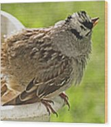 White Crowned Sparrow Sends A Warning Wood Print