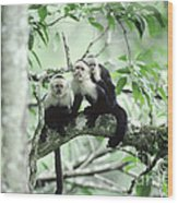 White-faced Capuchins Wood Print
