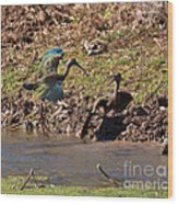 White-faced Ibis Mating Behavior In Early Spring Wood Print