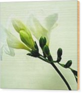 White Freesia Wood Print
