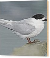 White-fronted Tern Wood Print