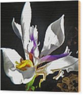 White Iris  Wood Print by Daniele Smith