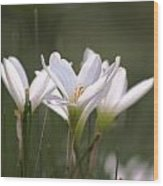 White Lily - Symbol Of Purity Wood Print