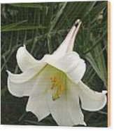 White Lily With Bug Wood Print