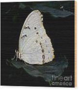 White Morpho Wood Print
