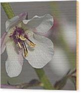 White Mullein - Verbascum Lychnitis Wildflower Wood Print