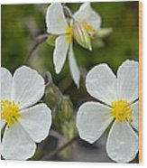 White Rock-rose (helianthemum Apenninum) Wood Print
