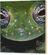 White Spotted Glass Frog Wood Print