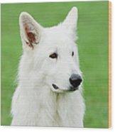 White Swiss Shepherd Dog Wood Print