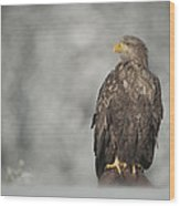 White-tailed Eagle Wood Print by Andy Astbury