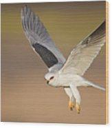 White-tailed Kite Wood Print