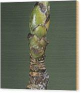 Whitebeam Tree Leaf Bud (sorbus Aria) Wood Print