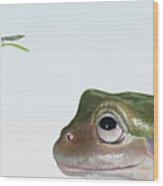 White's Tree Frog (litoria Caerulea), Looking At Fly, Close Up Wood Print