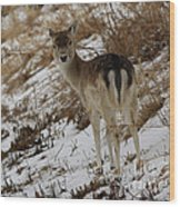 Whitetail Fawn In A Winter Meadow Wood Print