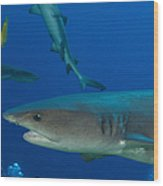Whitetip Reef Shark, Papua New Guinea Wood Print by Steve Jones