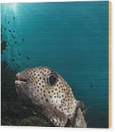 Wide-angle Image Of Pufferfish, Raja Wood Print