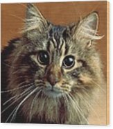 Wide-eyed Maine Coon Cat Wood Print