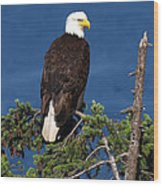 Wild Bald Eagle On Fir Tree Wood Print