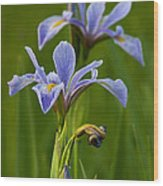 Wild Blue Flag Iris Wood Print