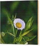 Wild Daisy Wood Print