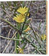 Wild Lettuce - Lactuca Virosa Wood Print