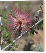 Wild Pink Fairy Duster Wood Print