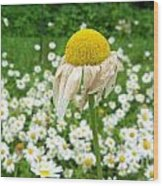Wilted Daisy In The Garden Wood Print