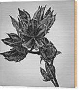 Winter Dormant Rose Of Sharon - Bw Wood Print