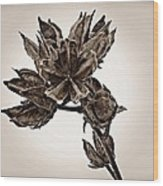 Winter Dormant Rose Of Sharon - S Wood Print