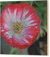 Winter Poppy Wood Print