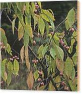 Winterberry Euonymus 'dart's Pride' Wood Print