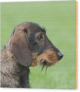 Wire-haired Dachshund Dog  Wood Print