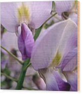 Wisteria Flowers Wood Print