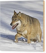 Wolf Canis Lupus Walking In Snow Wood Print