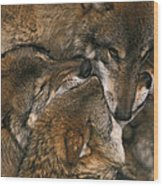 Wolf Pack Biting Each Others Muzzles Wood Print