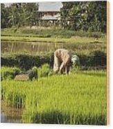Woman Planting Rice Wood Print