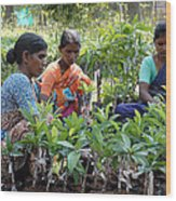 Women Grafting Mango Plants Wood Print by Johnson Moya