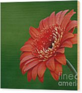 Wonder Of Nature Gerber Daisy Wood Print