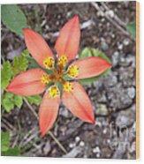 Wood Lily Lilium Philadelphicum Wood Print